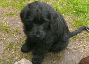 Labradoodle-Baby